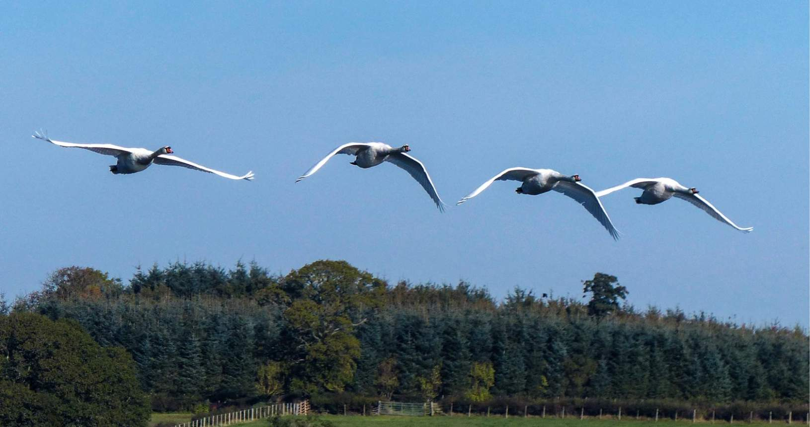 Mute Swans over Castle Loch
