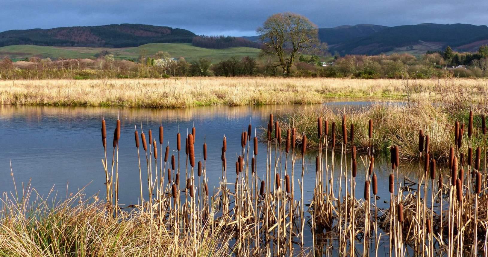 Castle Loch Reeds