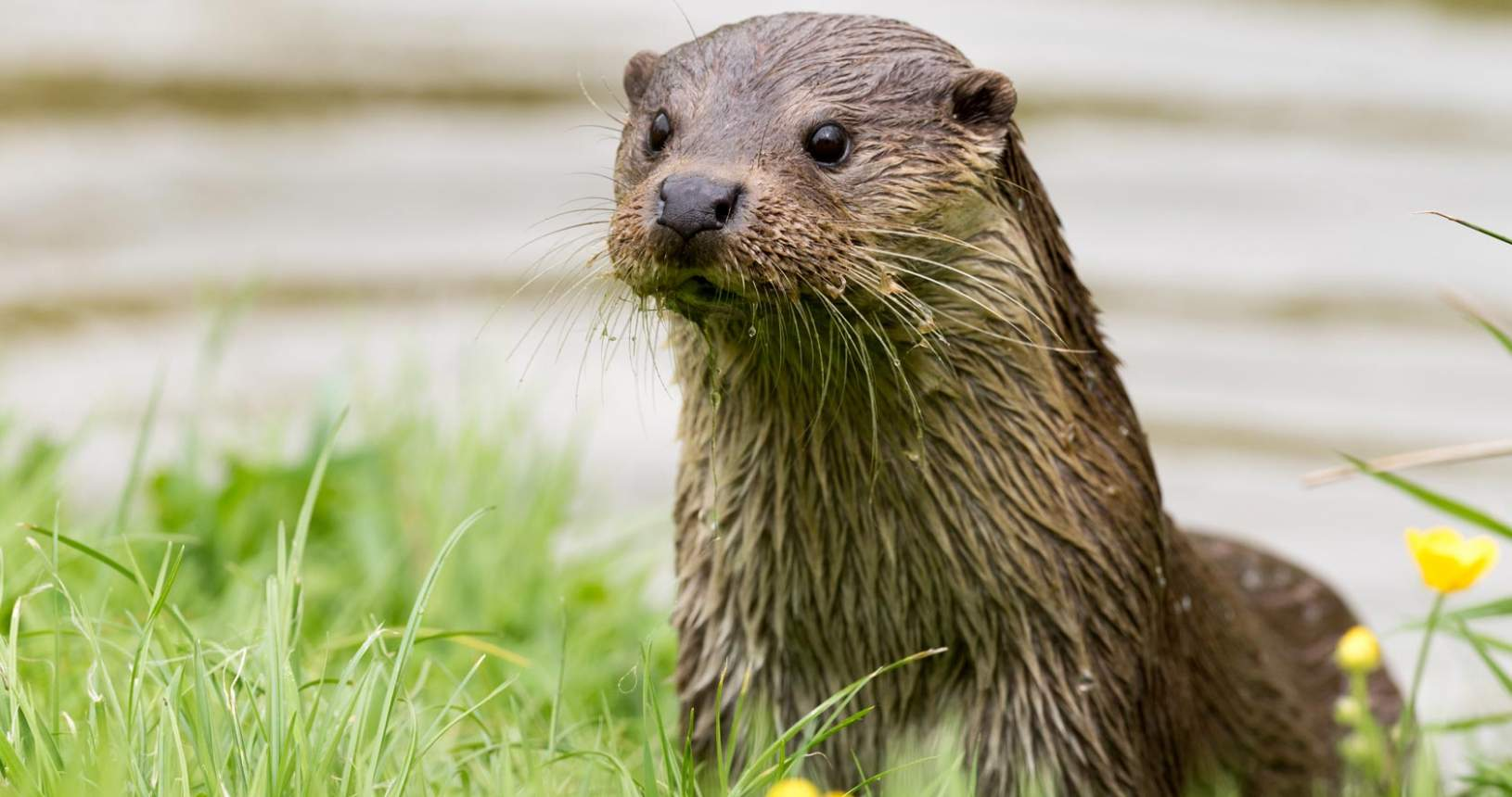 Otter in the River Annan