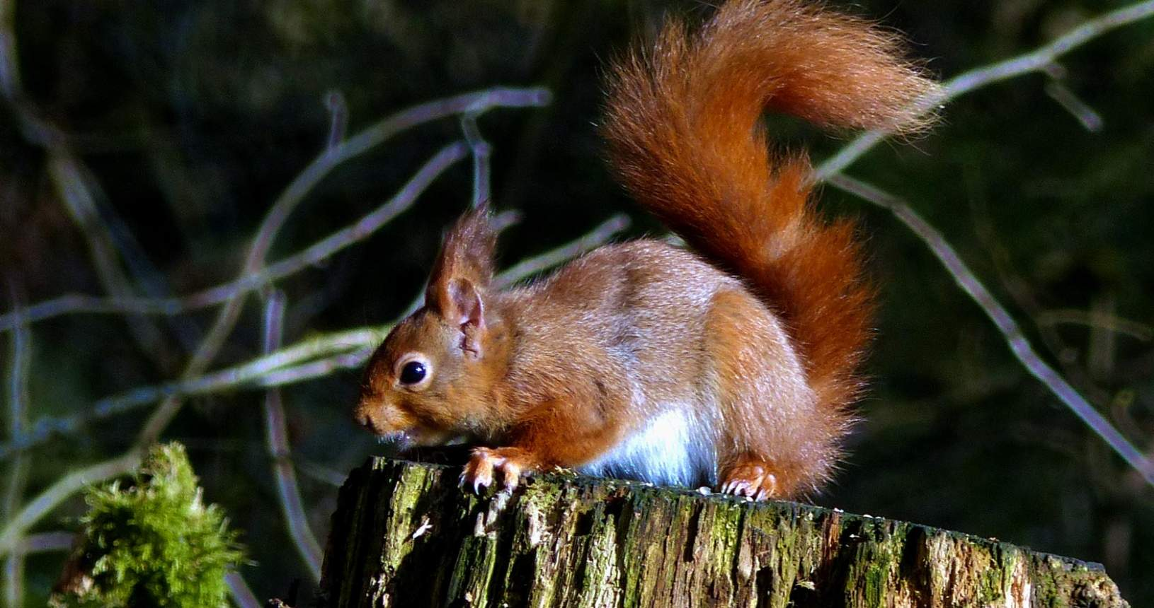 Red Squirrel at Eskrigg Nature Reserve