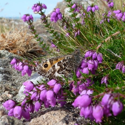 Greyling Butterfly feeding on Bell Heather