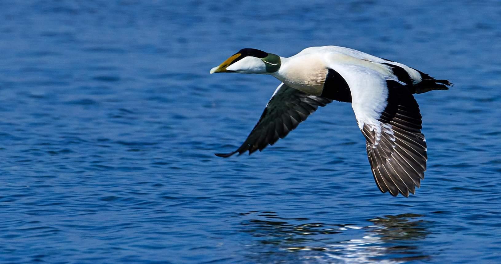 Eider Duck over Loch Ryan