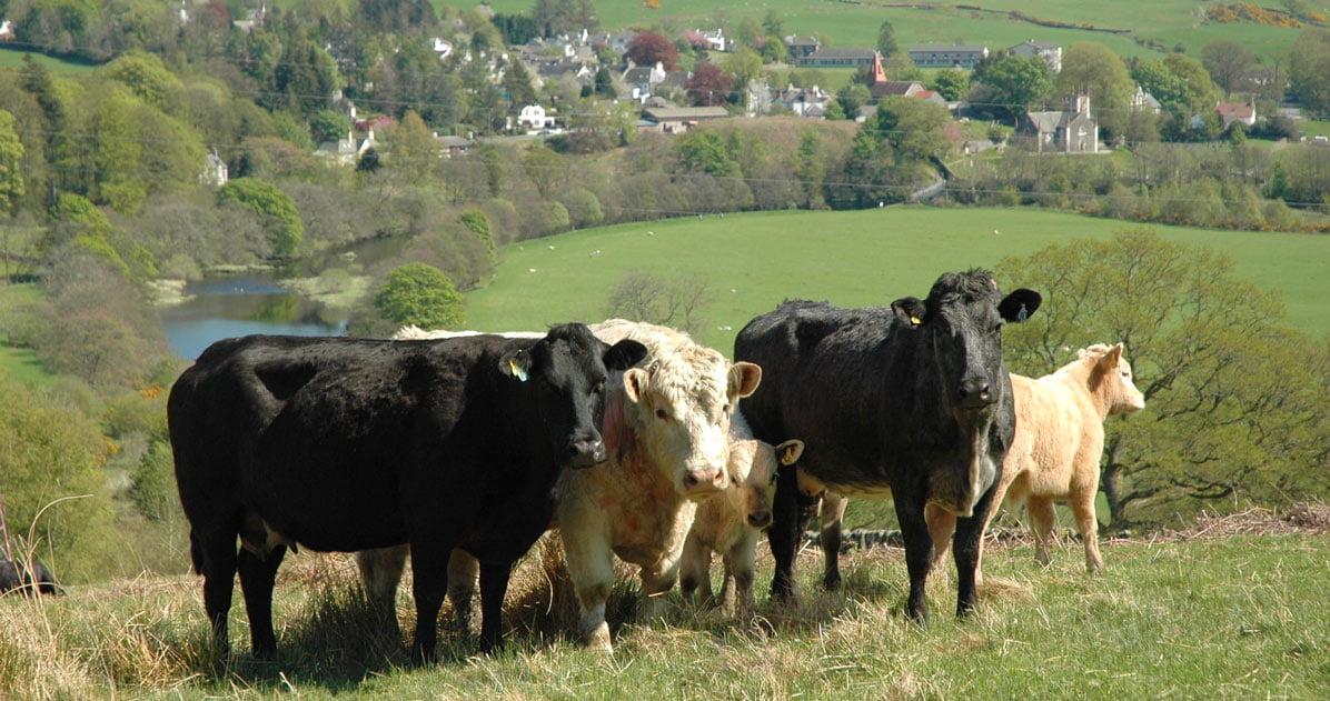 Waterside Hill Cattle