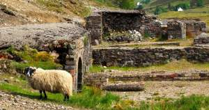 Sheep in Ruins